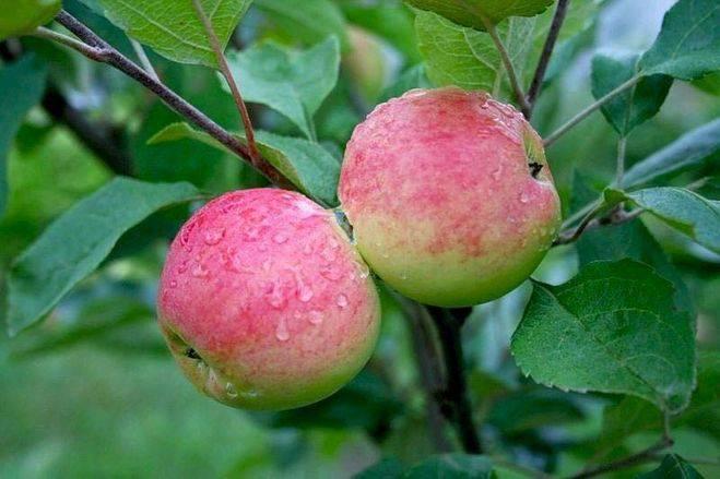 Сорт яблони средних размеров Абориген