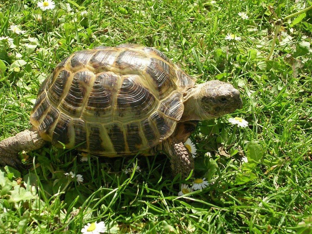 Среднеазиатская черепаха Testudo (Agrionemys) horsfieldii