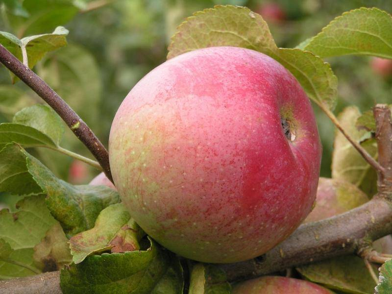 Среднезимостойкий сорт яблони Ветеран