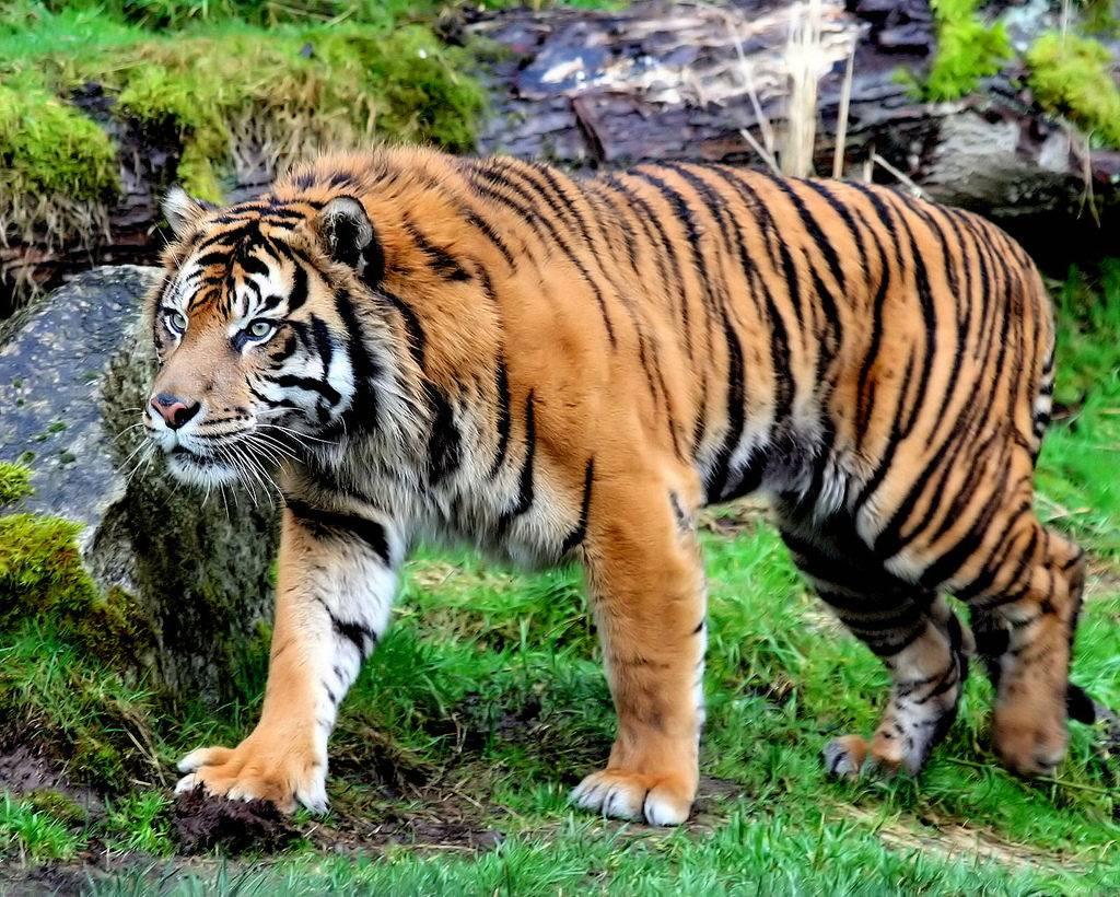 Суматранский тигр Panthera tigris sumatrae