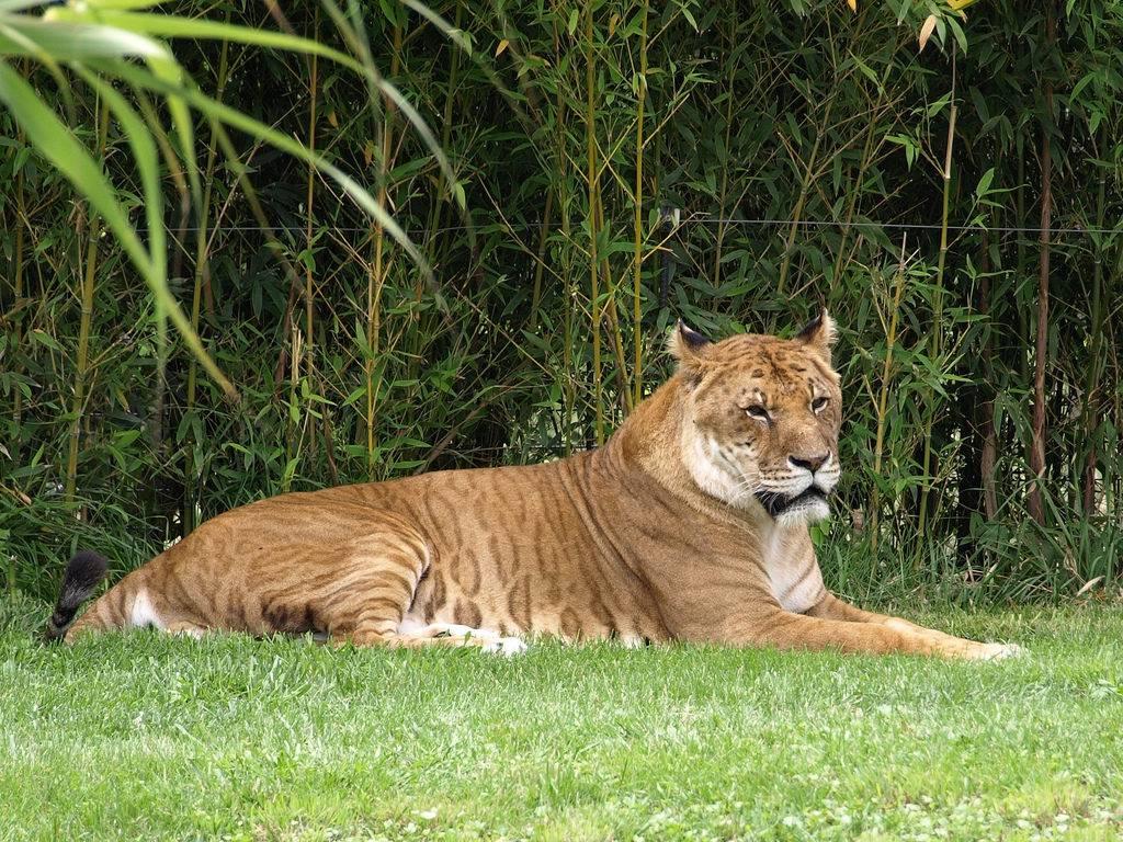 Тигролев (тигон) фото (гибрид тигра и львицы)
