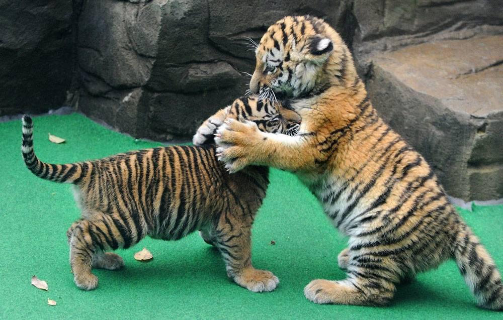 Тигрята играют