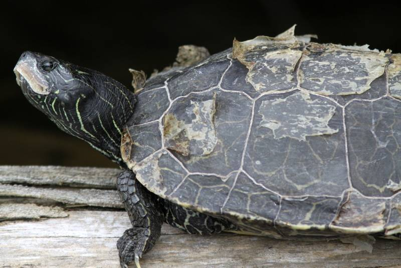 Красноухая черепаха линяет кожа фото