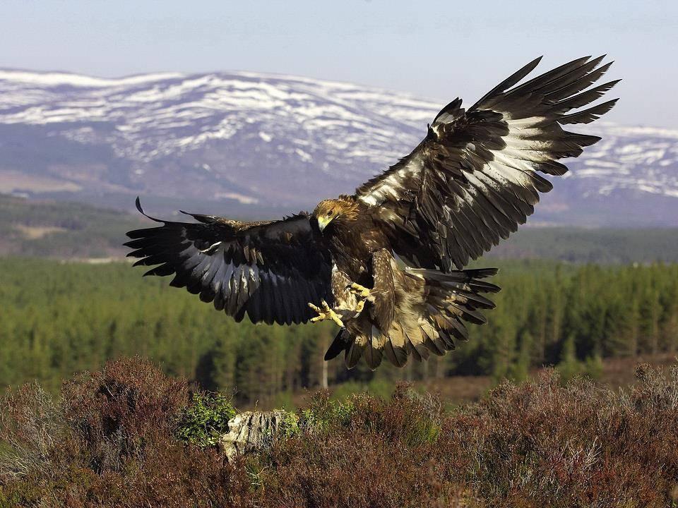 Фото орла в полете