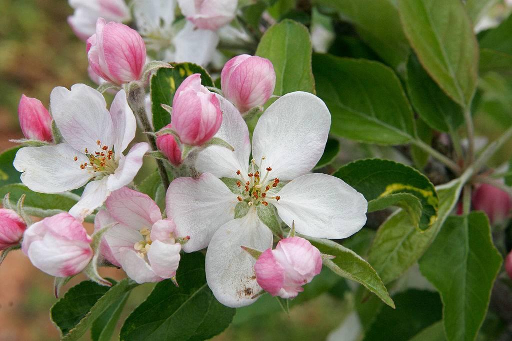 Фото цветов яблони