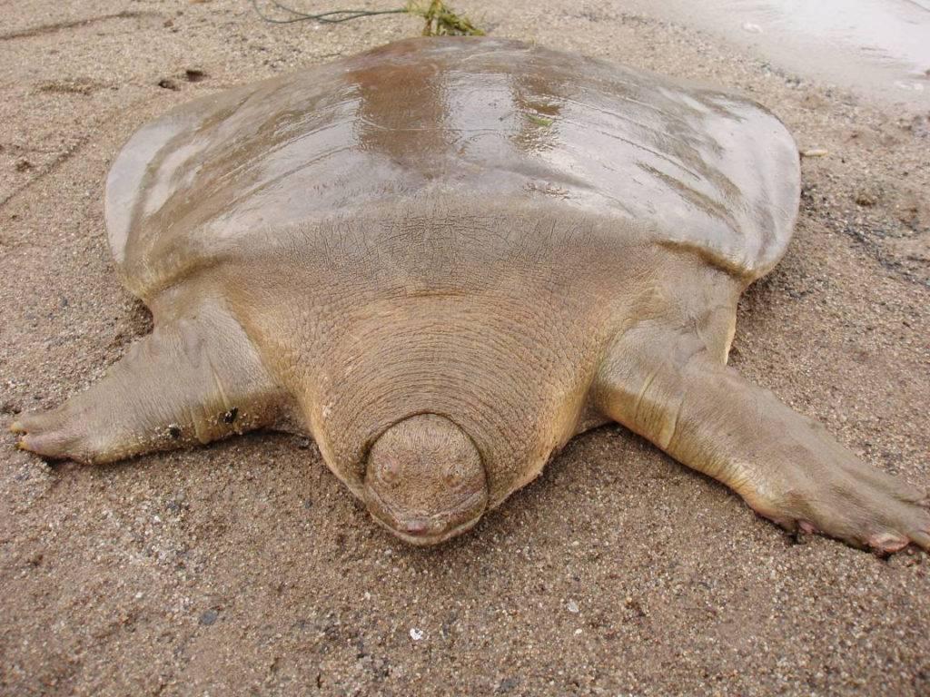 Фото черепахи без панциря (мягкотелая черепаха Свайно)