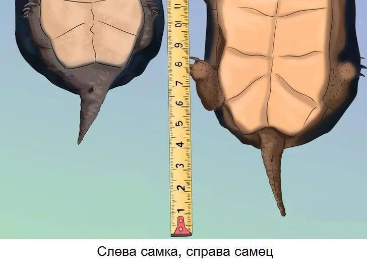 Хвост самца и самки черепах