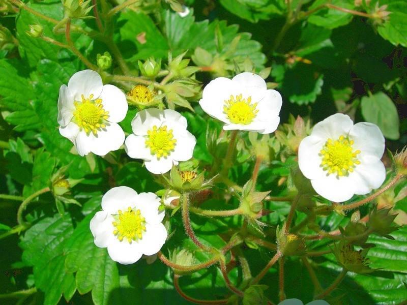 Цветы клубники фото