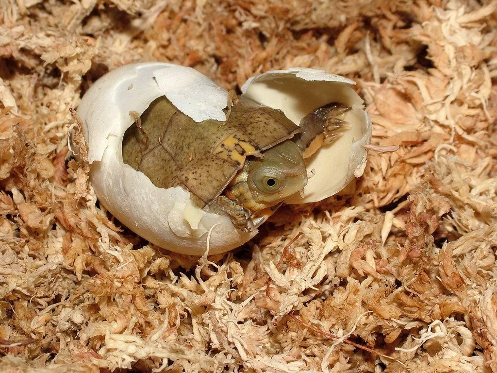 Черепашка вылезает из яйца