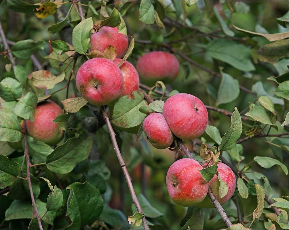 Яблоня домашняя фото