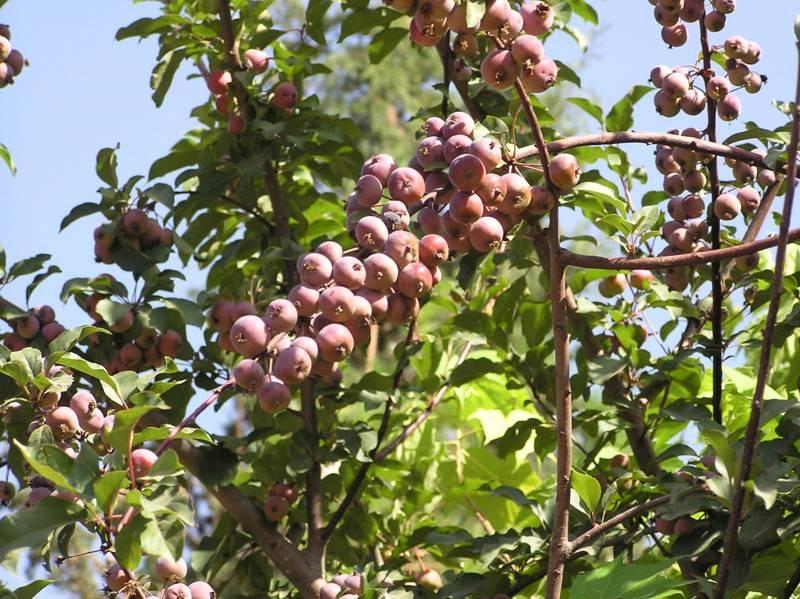 Яблоня сиверса фото