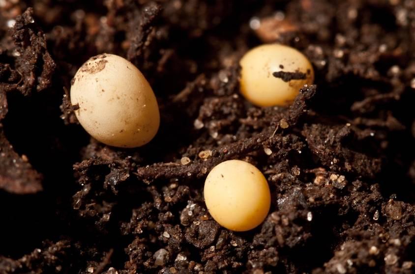 Яйца жука-оленя