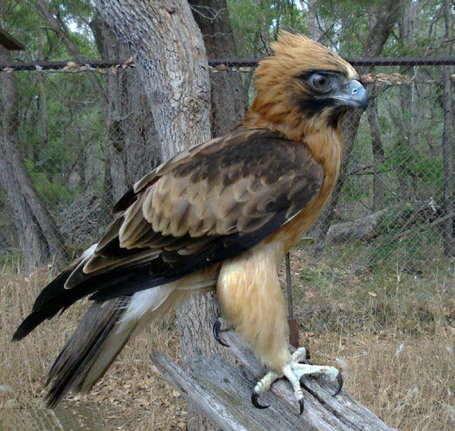Австралийский орел-карлик Aquila morphnoides