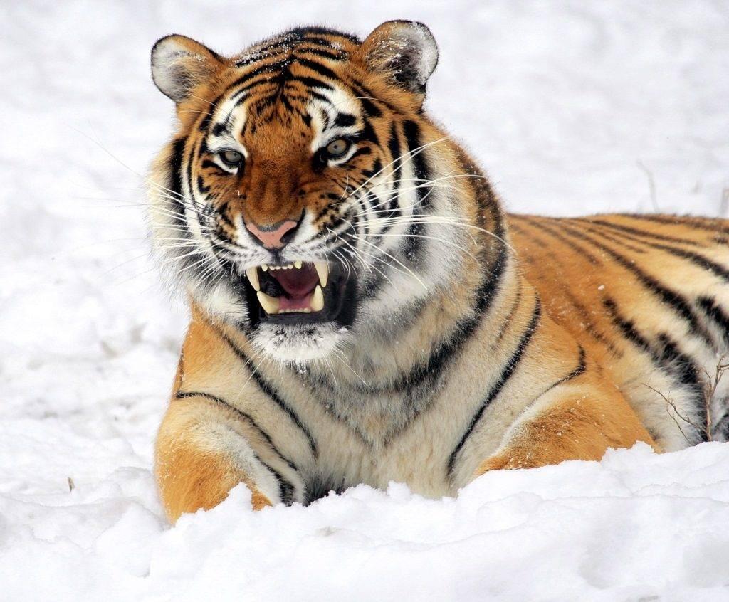 Амурский (Уссурийский) тигр Panthera tigris altaica