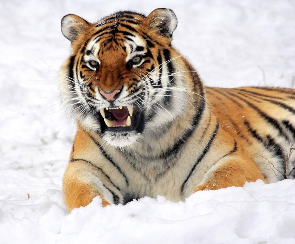 фото тигра амурского и уссурийского