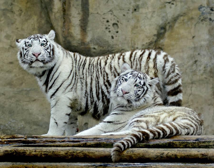 Бенгальский тигр белого цвета