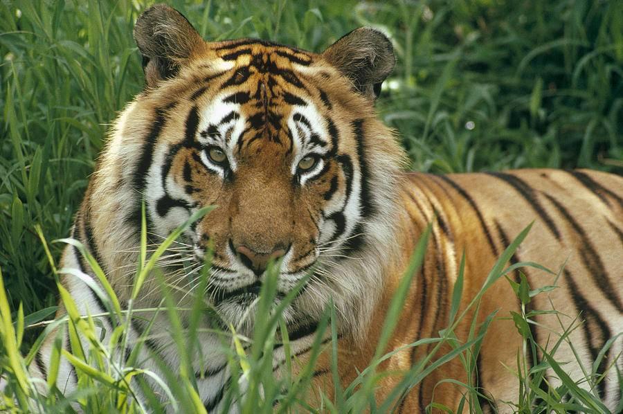 Бенгальский тигр Panthera tigris tigris