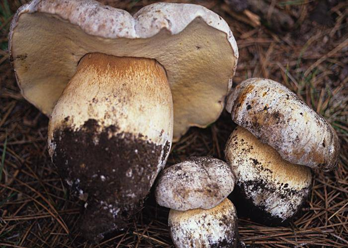 Боровик Берроуза Boletus barrowsii