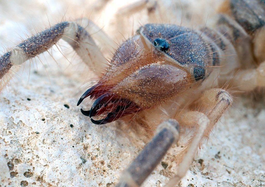 Верблюжий паук фото