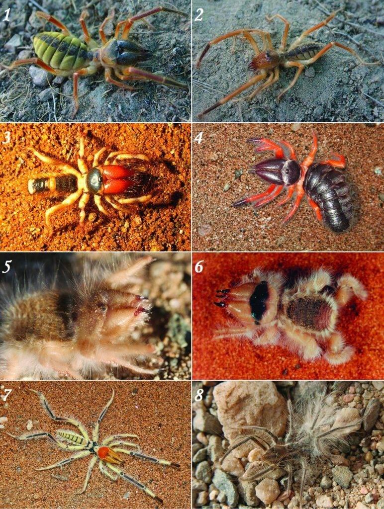 Виды верблюжьих пауков (фаланги)