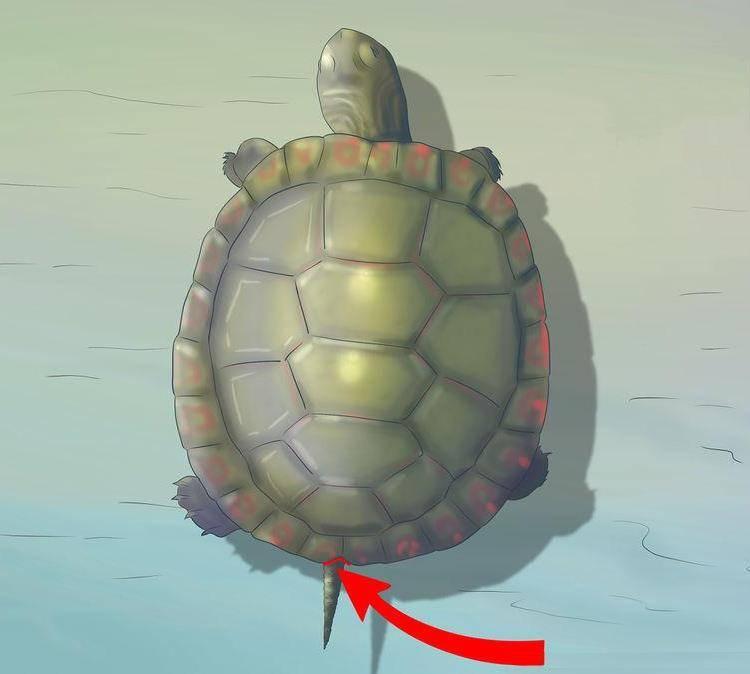 Выемка у хвоста обозначает самца черепахи