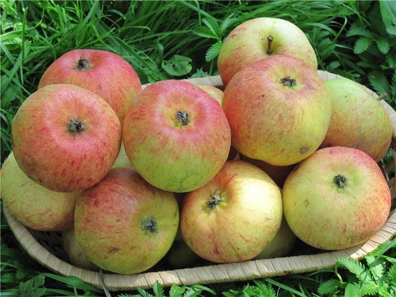 Высокозимостойкий сорт яблони Коробовка