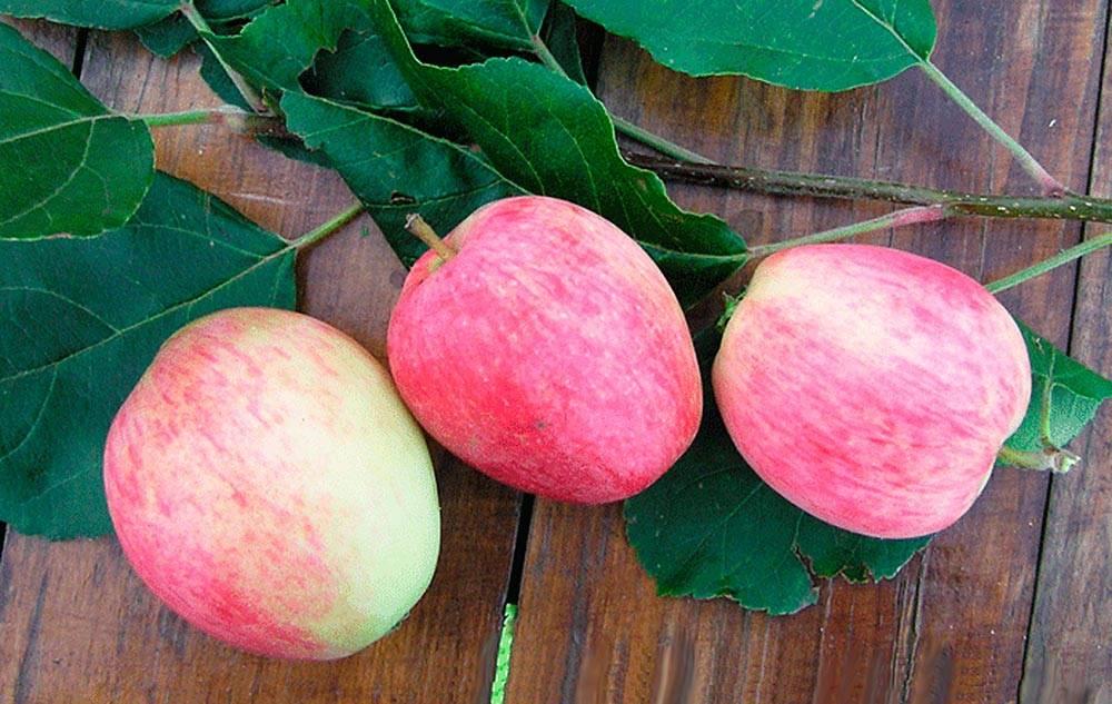 Высокорослый сорт яблок Аркадик