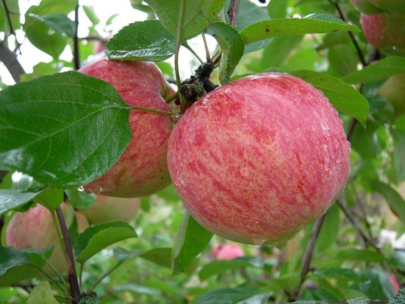 Высокорослый сорт яблок Коричное полосатое