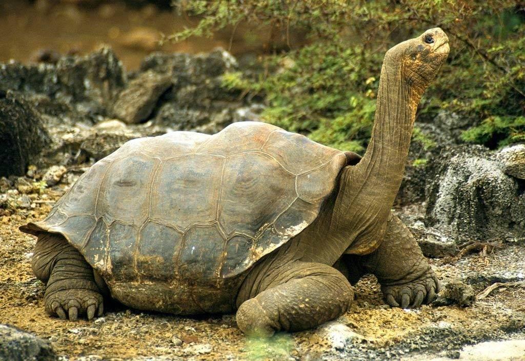 Галапагосская (слоновая) черепаха Chelonoidis elephantopus