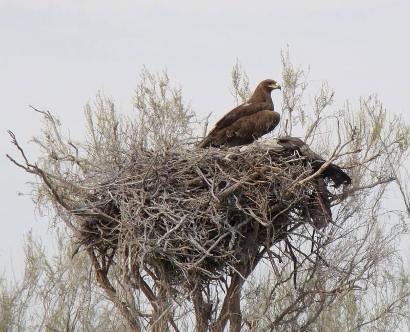 Гнездо орла фото