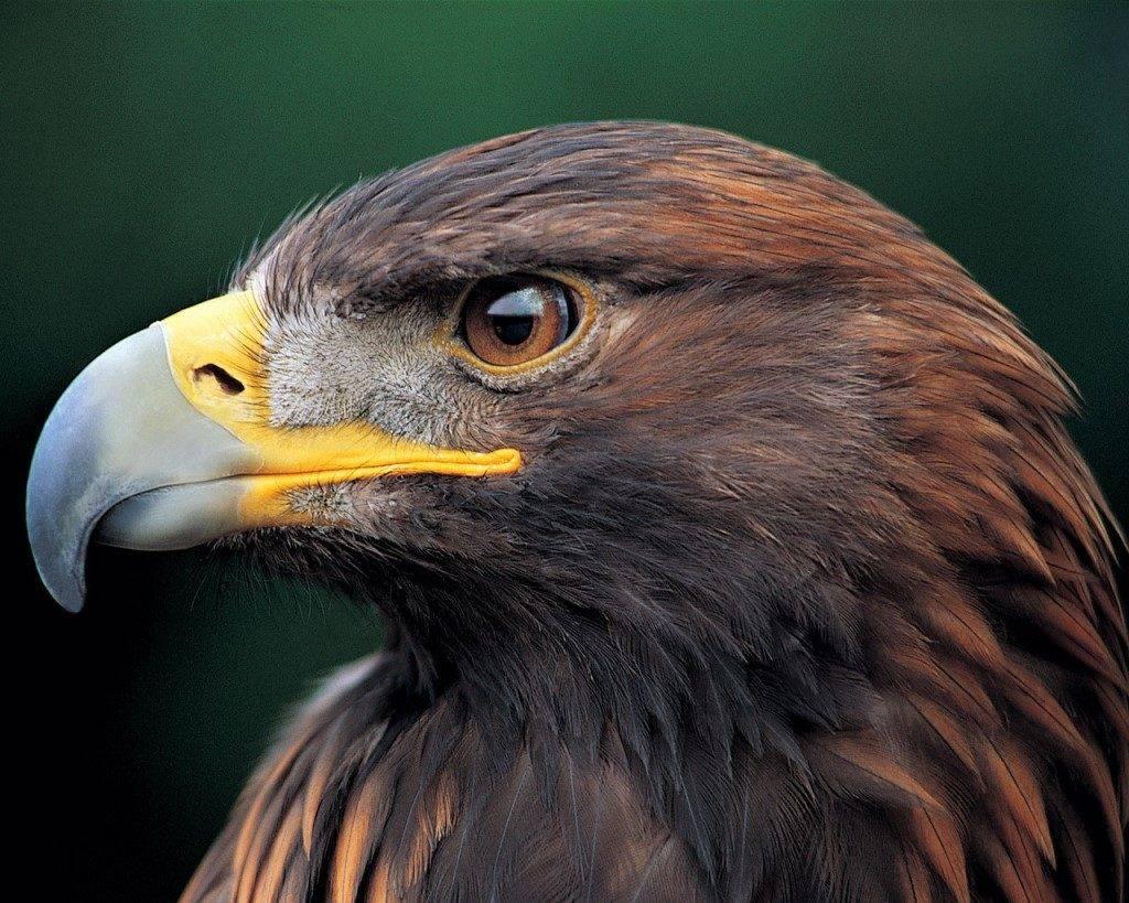 орел фото птица