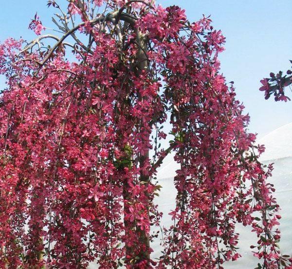 Декоративная яблоня Роял Бьюти