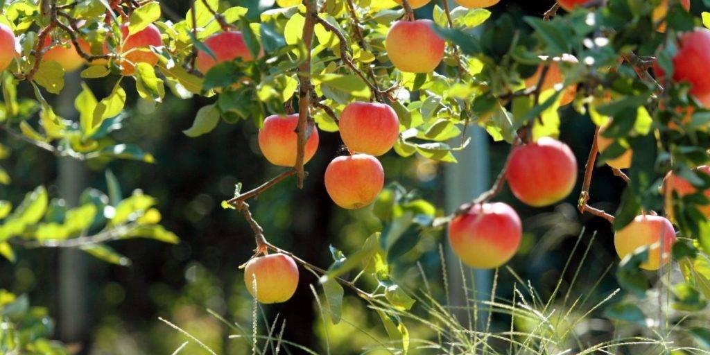 Дерево яблоня фото