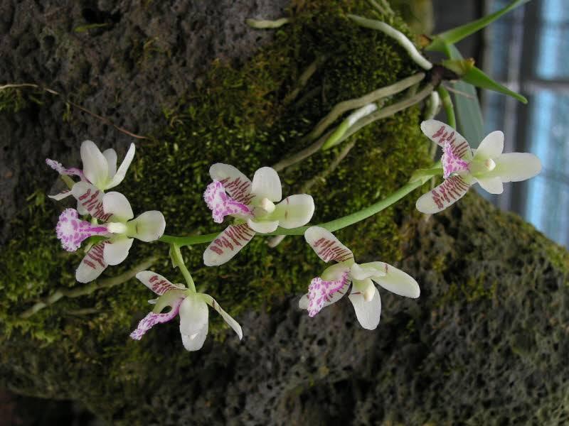 Дикая орхидея фото