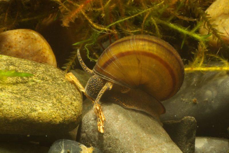 Живородка болотная Viviparus contectus