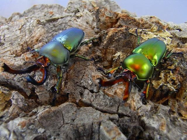 Жук-рогач лаприма золотистая (Lamprima aurata) (самцы)
