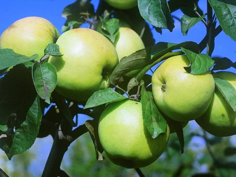 Зимний сорт яблони Антоновка обыкновенная