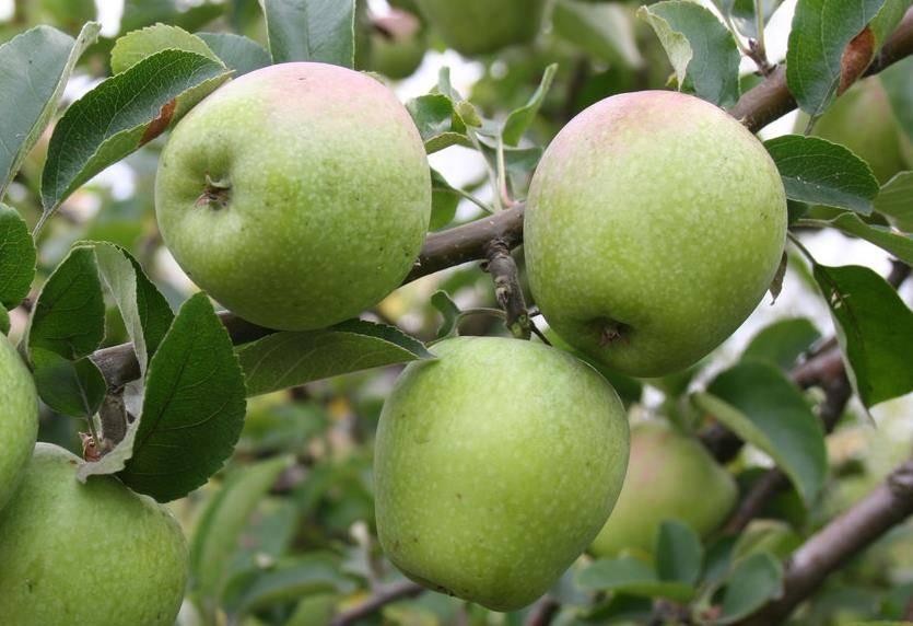 Зимний сорт яблони Изумительное