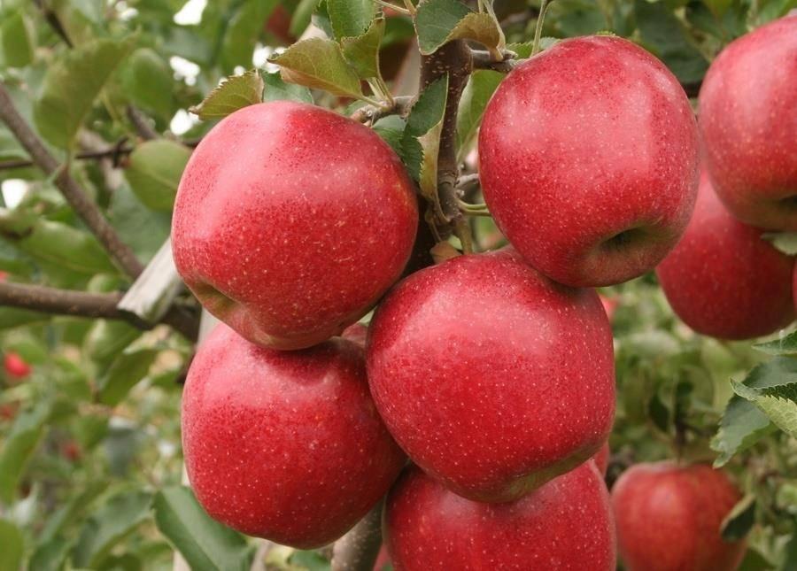 Зимостойкий сорт яблони Первый салют