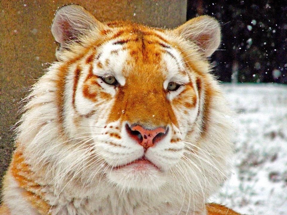 Золотой тигр фото