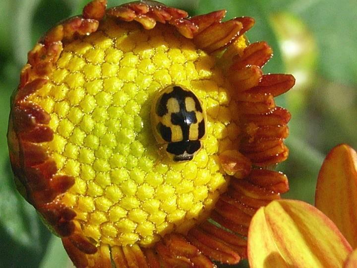 Как выглядит божья коровка Propylea japonica