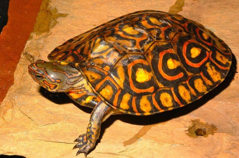 Как выглядит черепаха фото (Великолепная лесная - Rhinoclemmys pulcherrima manni)