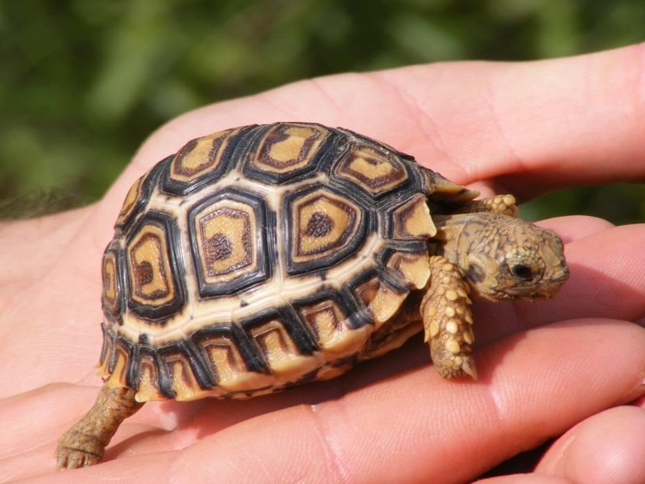 Как выглядит черепаха фото