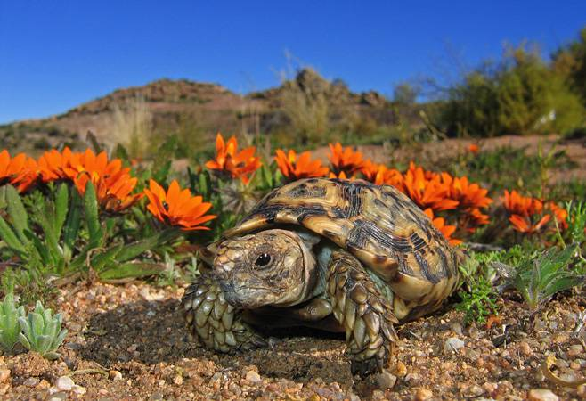 Капская крапчатая черепаха Homopus Signatus