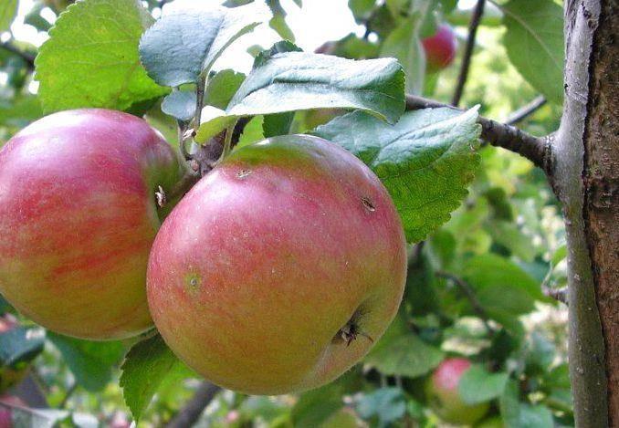 Карликовая яблоня – сорт Приземленное