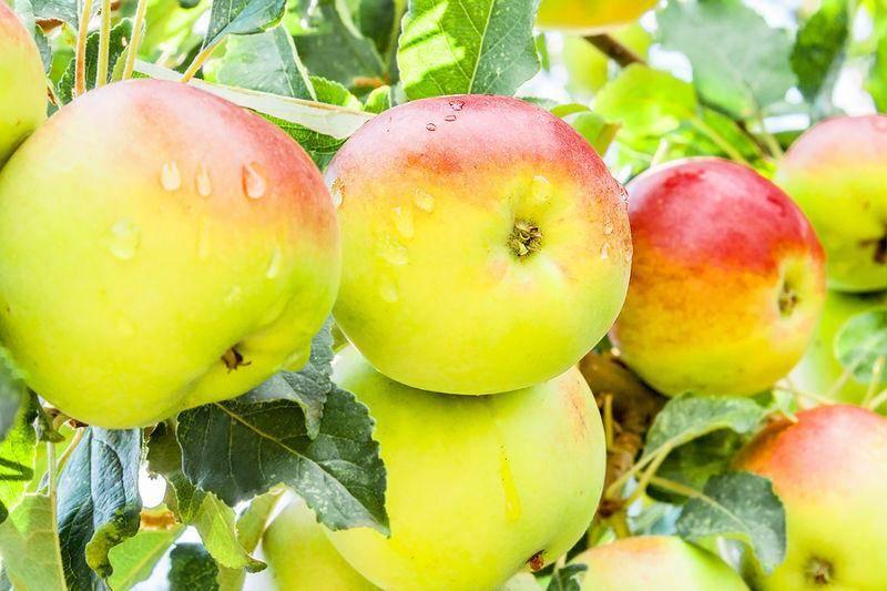 Сорт яблок желтые сладкие