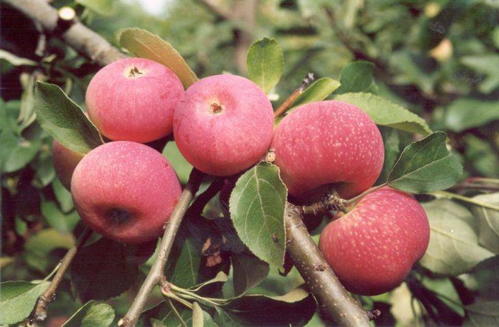 Кисло-сладкий сорт яблок Красная горка