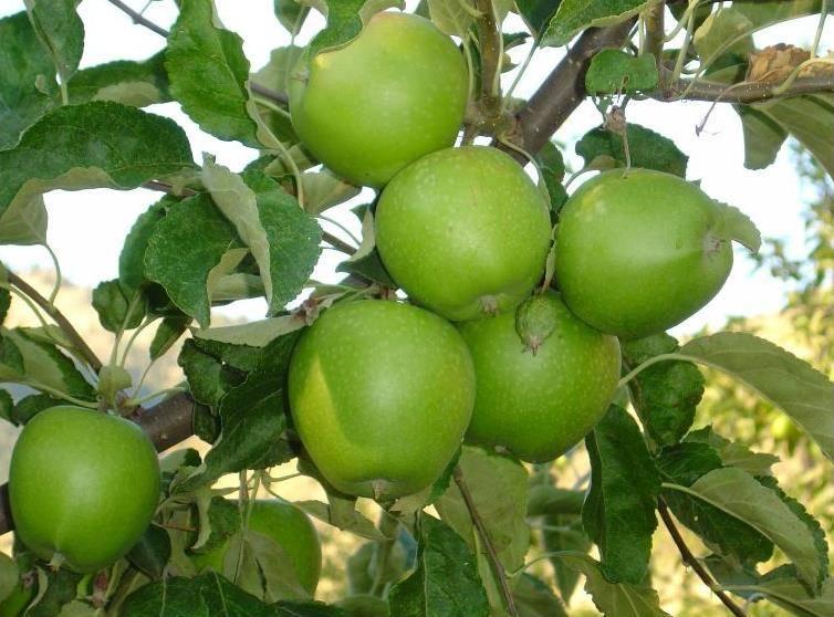 Кислый сорт яблони Гренни Смит