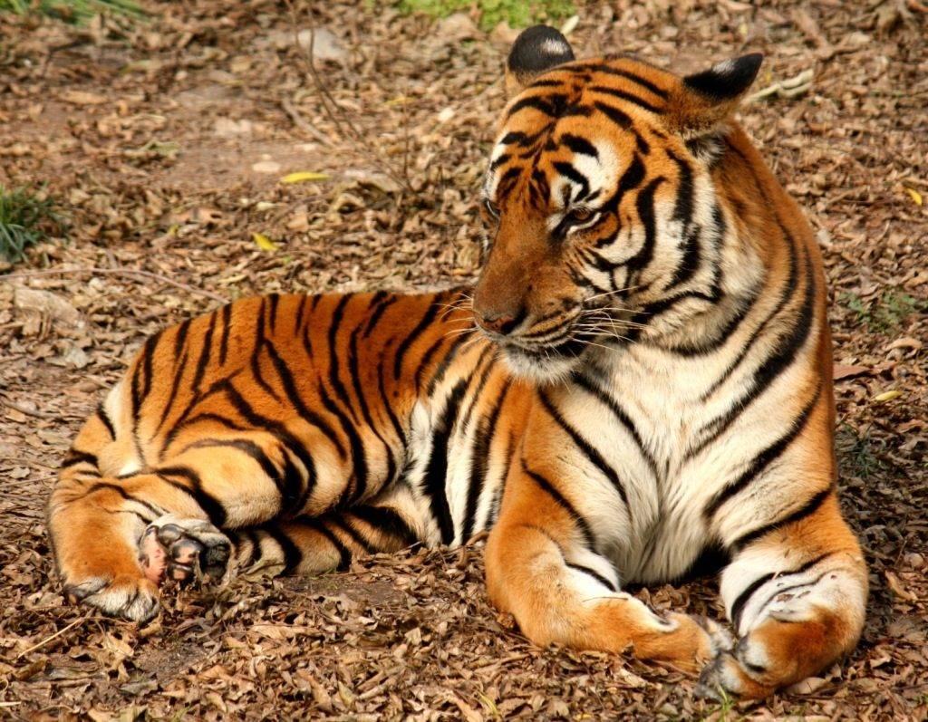 Китайский тигр Panthera tigris amoyensis