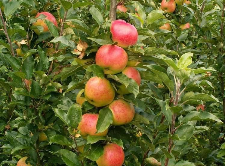 Колоновидная яблоня – сорт Баргузин